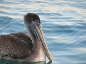 A friendly pelican