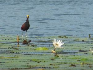 Jacana on lily pad