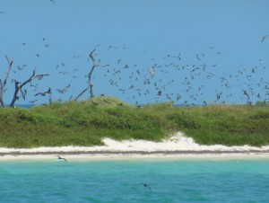 Breeding colonies of terns and noddies on Bush Cay