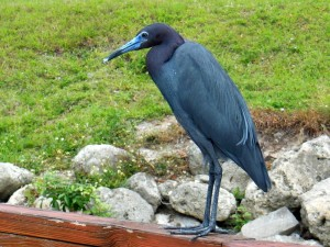 Little Blue Heron - Stuart