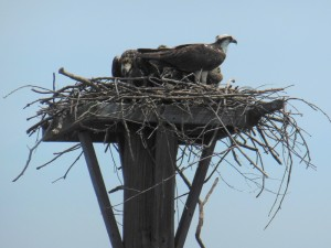 3 nearly full-grown osprey chicks waiting to be fed