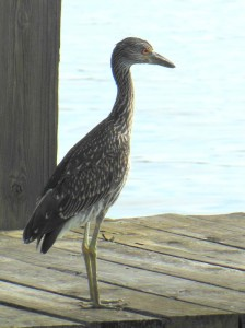 Juvenile Yellow Crowned Heron on a Hampton dock