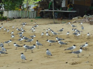 Laughing gulls waiting for scraps