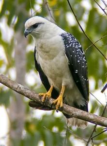 White Hawk (GooglePics)