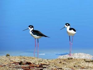 Black necked stilts