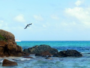 A Pelican diving for his dinner