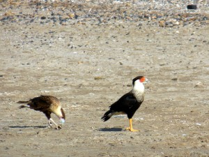 Caracaras cleaning up after the fishermen