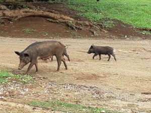 Street pigs