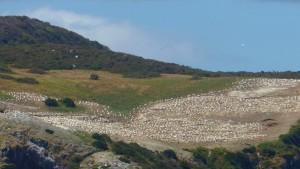 Gannet Breeding Ground